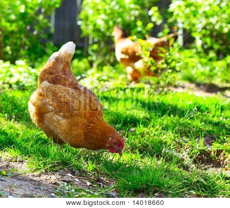 Hens walking on green rural yard