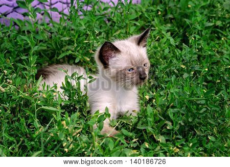a small miracle with blue eyes in the green grass siamese gray kitten