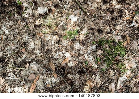 Pine cones and twigs on the forest floor