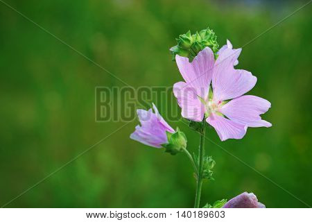 Lavatera thuringiaca the garden tree-mallow A species of Lavatera native to eastern Europe and southwestern Asia