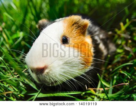 Cavy sitting in green grass. Focus on eye