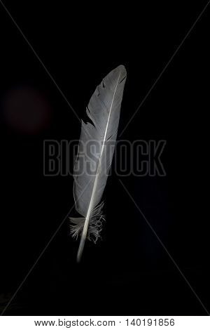 a black background grey feather isolated upright