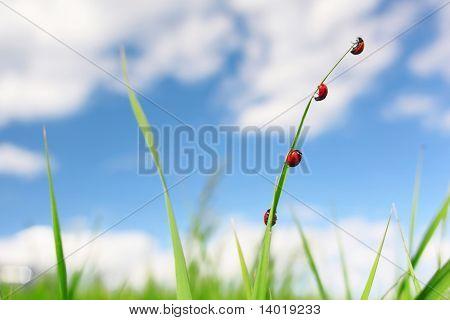 Cuatro mariquitas rojos en hoja verde hierba fina sobre cielo azul