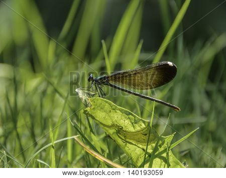 A Familiar Bluet, (Enallagma civile) is a damselfly, seen here resting on grass next  to a stream in York County Pennsylvania, USA.