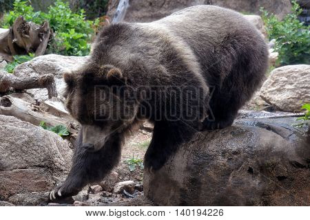 Grizzly bear walking on rocky terrain in its natural environment