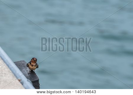 Barn Swallow Sits on Edge of Pier and Looks at Camera with blue lake water behind
