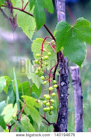 Green young grapes ripen on branches of the vine on hot summer day in Crimea. Vertical photo Close-up