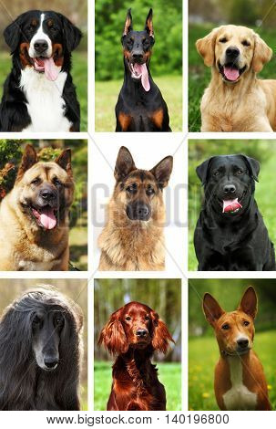 nine popular breeds of dogs portraits nature outdoors close-up