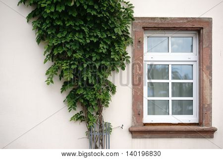 The nostalgic wooden windows of a listed house with a bound bush.