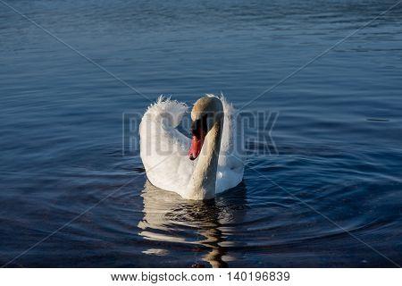 White Swans On The Lake