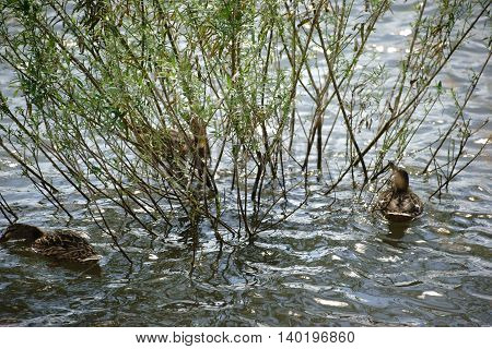 Three ducks swimming under a bush on a river bank and looking for food.