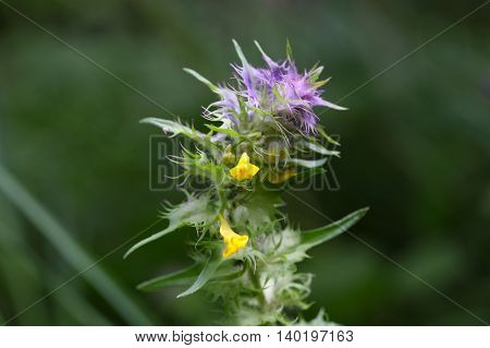 Flower of a crested cow wheat (Melampyrum cristatum).