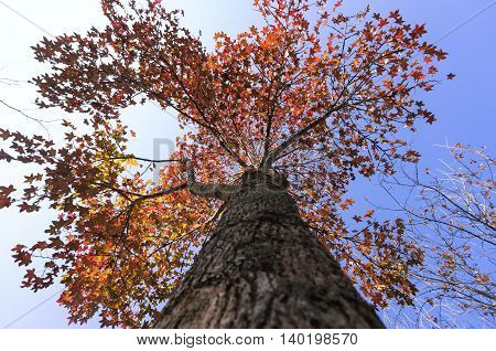 Maple tree. Looking up to the top. Beautiful nature
