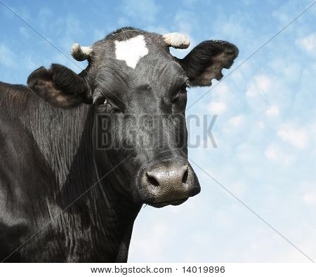 Sad black cow over blue sky background