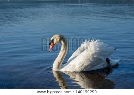 White Swans On The Lake