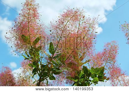 Cotinus coggygria or European smoketree. Beautiful and rich nature of the Crimea.
