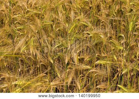 Field with harvest rye. Beautiful and rich nature of the Crimea.