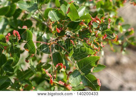 Pistacia atlantica or Persian turpentine tree. Beautiful and rich nature of the Crimea.
