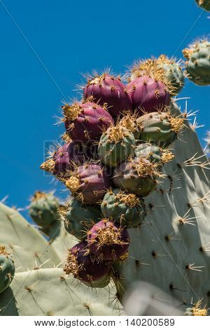 Opuntia or prickly pear or Indian fir juicy fruits