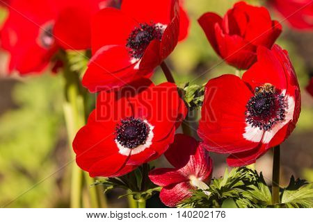 detail of red poppy anemone flowers with pollinating bee