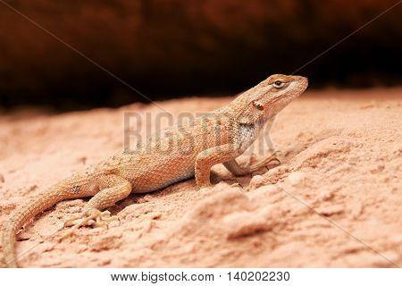 Lizard in the sand in the desert