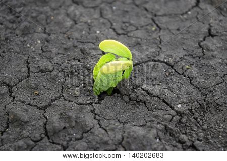 Germination of bean seeds on a background of black earth