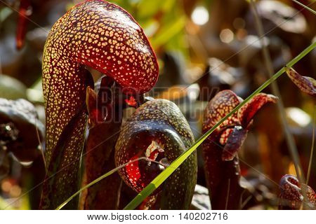 Closeup of the California pitcher plant or cobra lily (Darlingtonia californica) with light shining through it