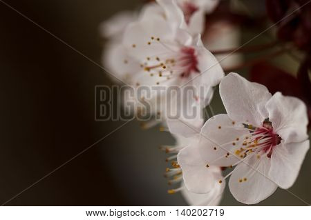 Moody flowering plum blossoms against a dark background