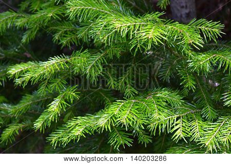 The needles on the branches of a young spruce tree