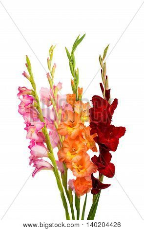 iris flower gladiolus isolated on white background