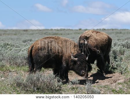 Young Bison Bulls fighting in Hayden Valley in Yellowstone National Park in Wyoming USA North America