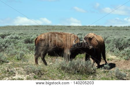 Young Bison Bulls fighting in Hayden Valley in Yellowstone National Park in Wyoming