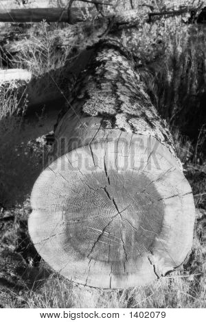 Fallen Tree Infrared