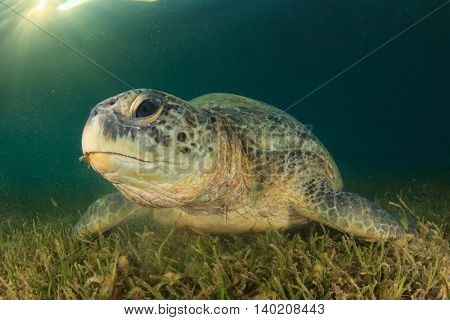 Green Sea Turtle feeds on sea grass with sunburst behind