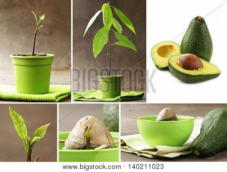 collage how to grow avocados at home