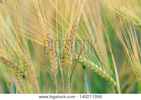 Organic Green Spring Grains With Shallow Focus