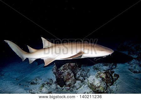 Nurse Shark Close Up On Black At Night