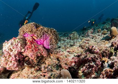 Clown Fish Inside Pink Purple Anemone With Diver
