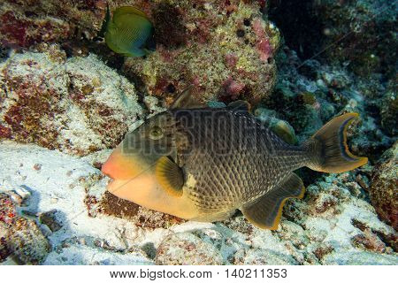 Trigger Fish Titan Defending Its Nest Underwater