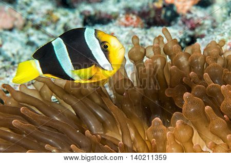 Clown Fish Inside Red Anemone In Maldives