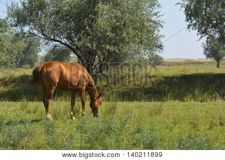 chestnut horse grazing in field, horse in the pasture