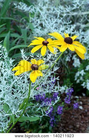 Black eyed Susan flowers growing in a garden