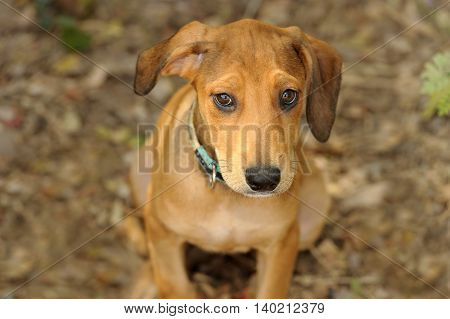 Cute dog is a sweet adorable puppy looking up with his ear flopping to one side and his big brown beautiful eyes full of wonder.