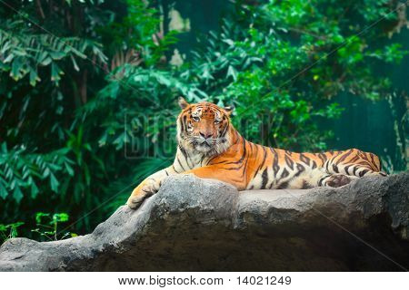 Lying tiger in zoo on green trees background