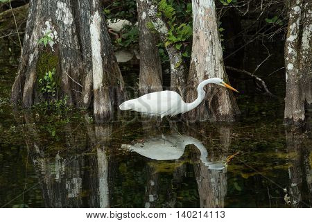 Great Egret in the wild in the everglades. FLORIDA.