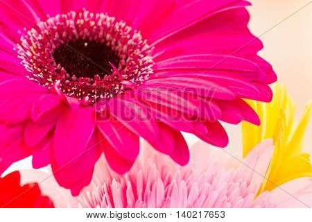 Flowers holiday or birthday background of colorful pink gerber or gerbera close-up