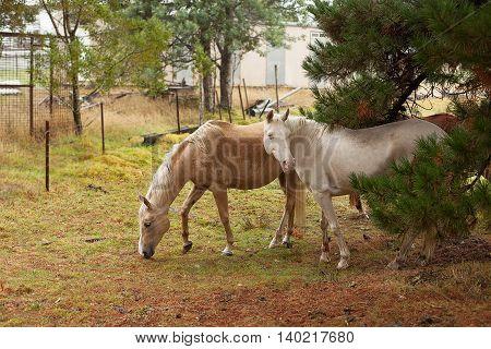 Horses In The Rain