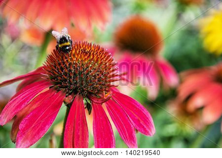 Bumble-bee pollinating red rudbeckia flowers in the garden. Natural scene. Beauty in nature. Fauna and flora. Vibrant colors.