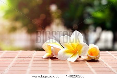 Blooming white Plumeria or Frangipani flowers on the brick floor in blurred green background with vintage light effect