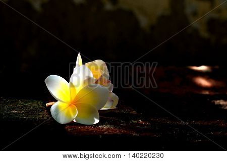 Blooming white Plumeria or Frangipani flowers with spot light on subject in the dark background
